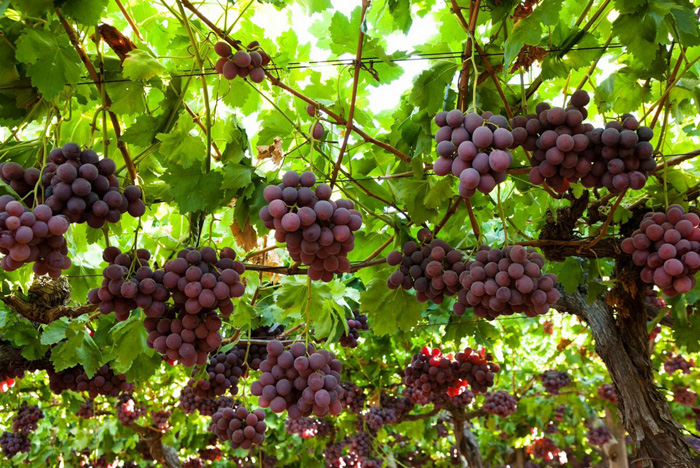 Table grapes suiderland plase for Table grapes